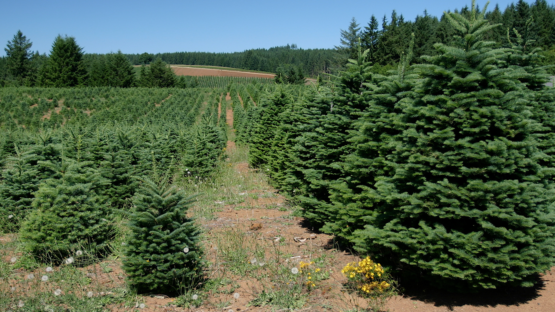 Essex Christmas Tree Farm
